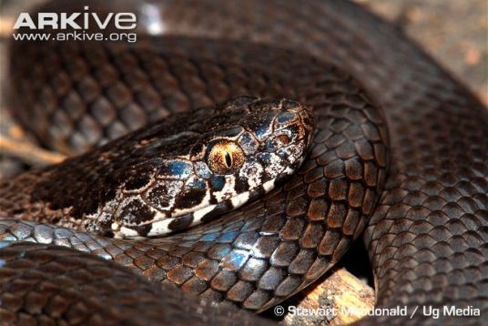 Coiled-ornamental-snake